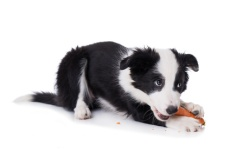 Border Collie Welpe knabbert eine Karotte