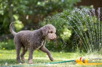 Brown dog playing with a water sprinkler outdoors. Hot summer day.